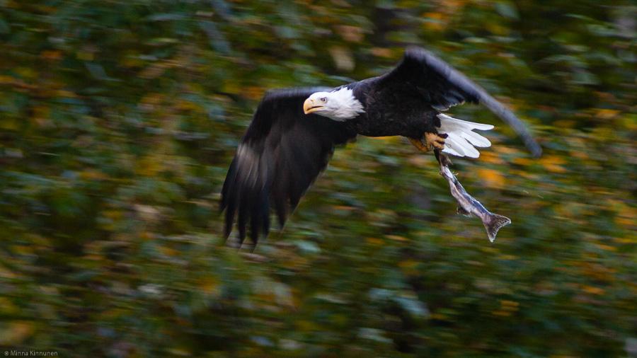 Bald eagle with a salmon