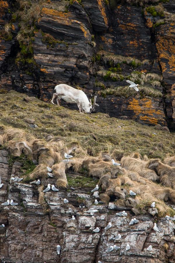 Svalbard reindeer on a bird cliff