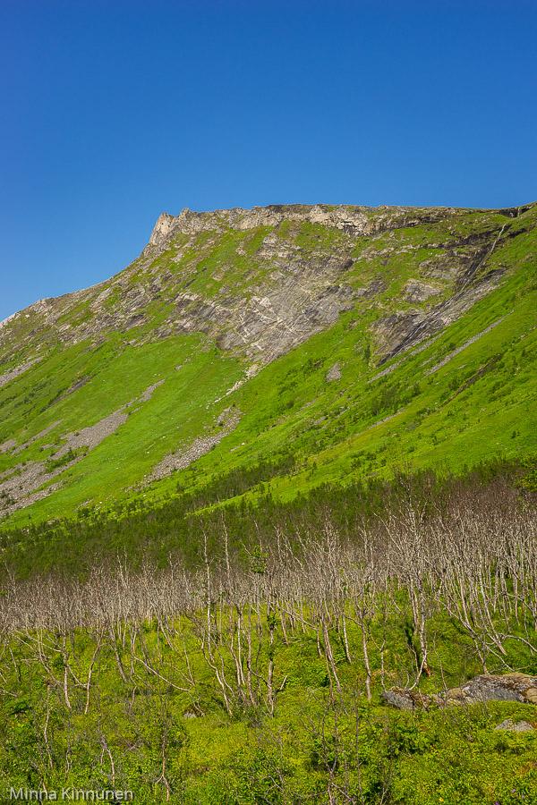 Död björkskog vid vägen till Husøy