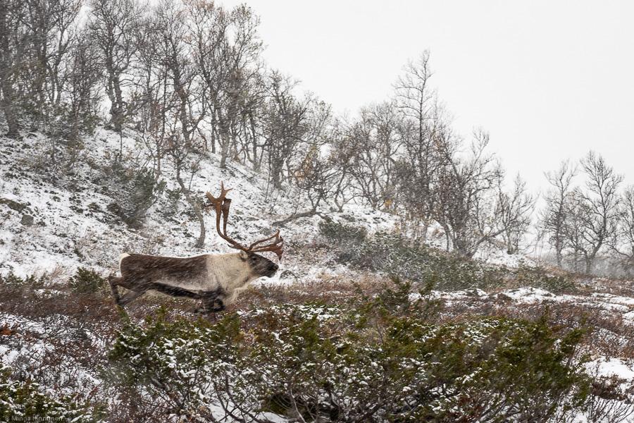 Rentjur springer i snöfall