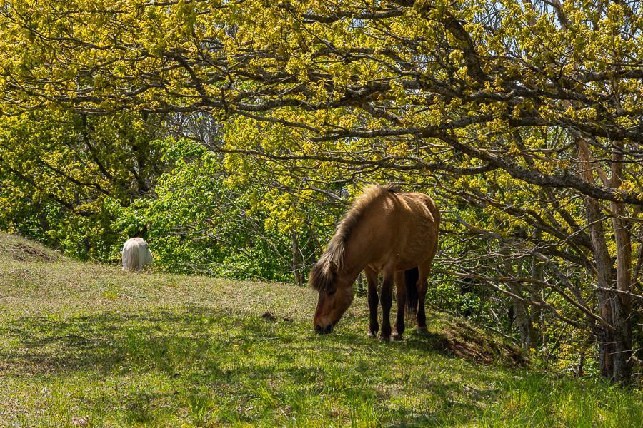 Hästar vid Rösslösa galgbacke