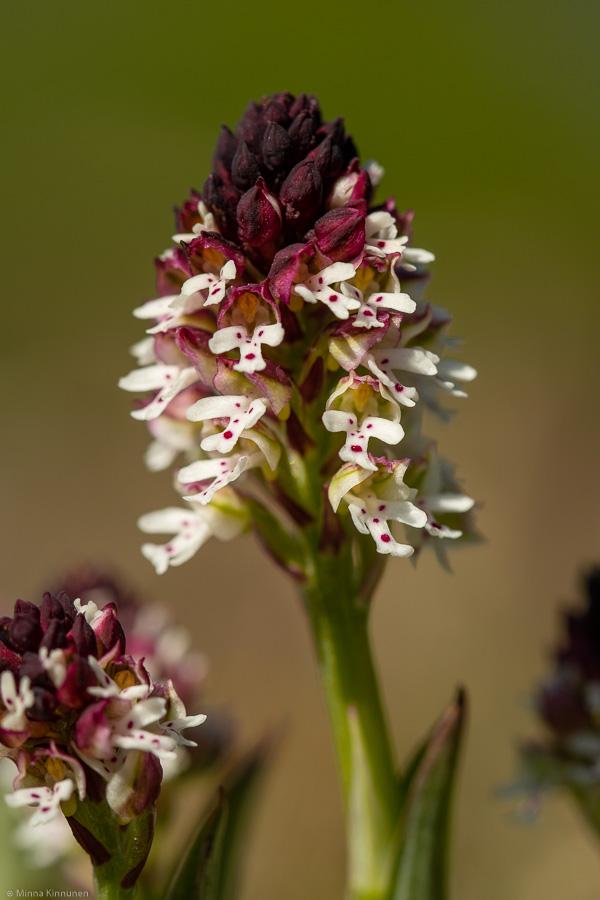 Krutbrännare (Orchis morio)