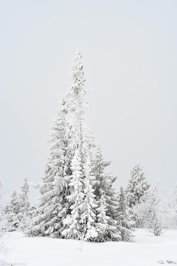 Statliga granar under ett snötäcke