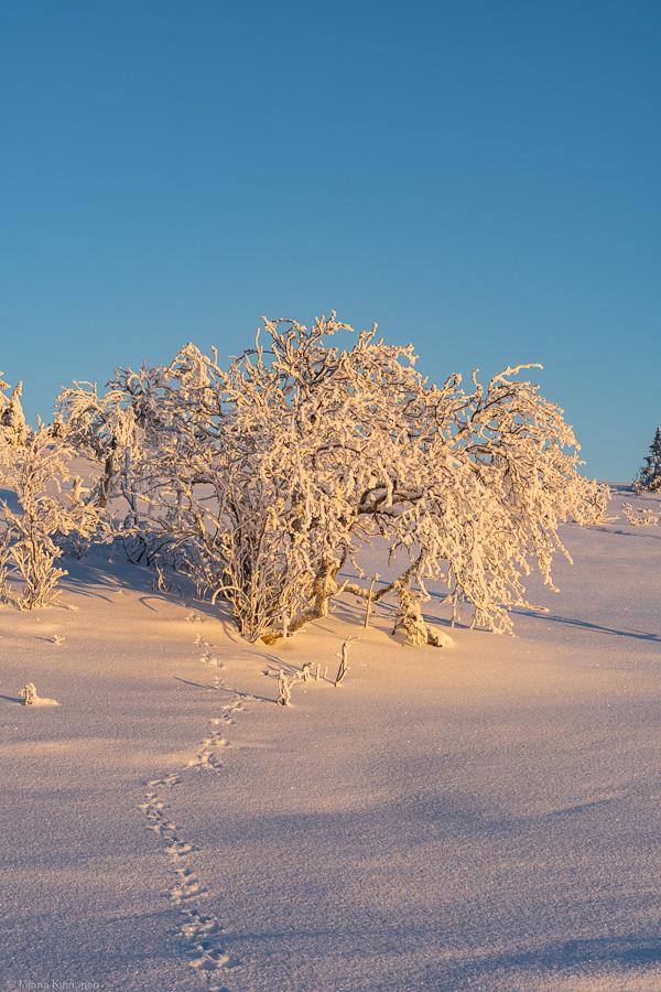 Snölandskap i morgonljus